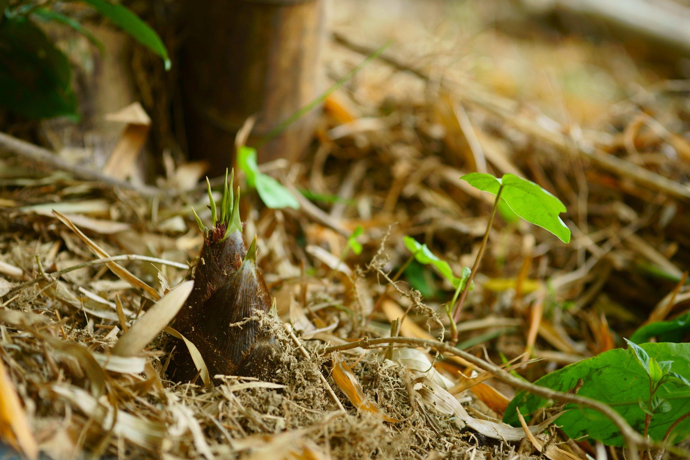 お茶畑近くで採れる筍2