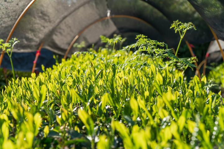 雑草がこんなにも生えてきますので、手作業で全て取り除きます